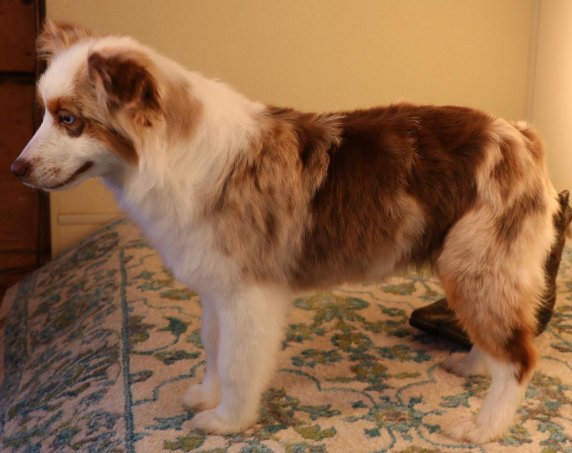 Toy Australian Shepherd puppies for sale in CO, Toy Aussie