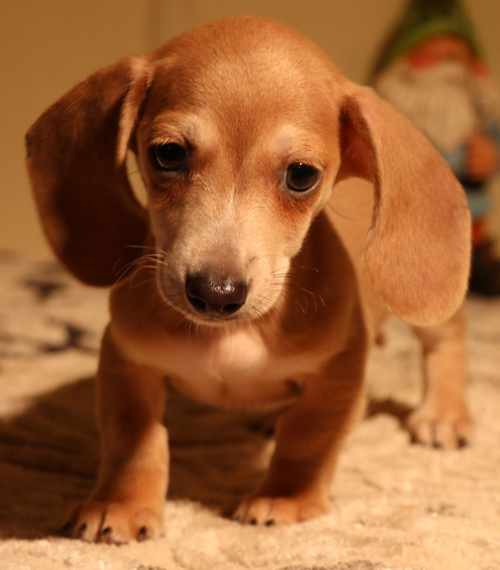 Miniature Dachshund puppies for sale in Austin, CO