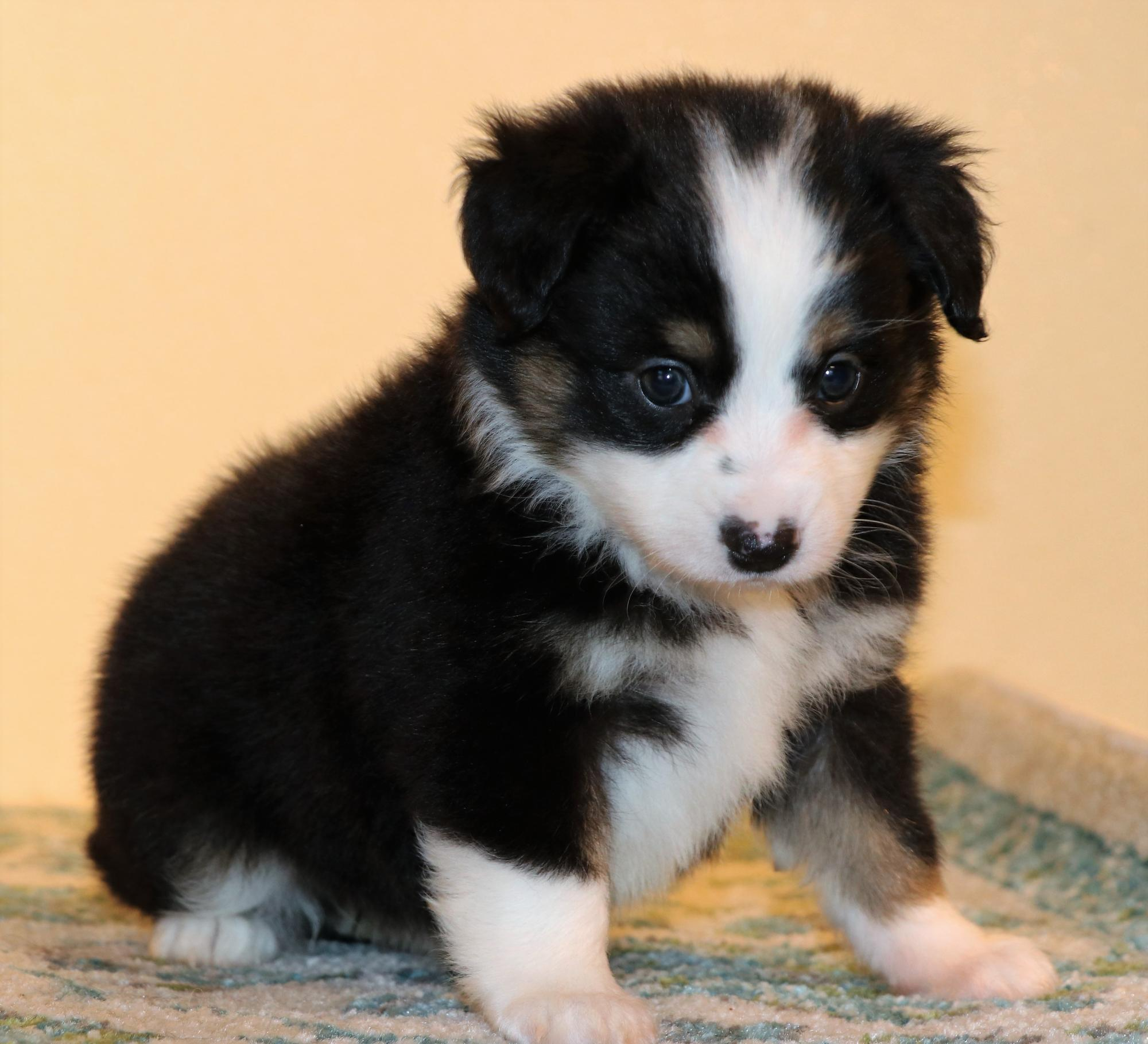 Toy Australian Shepherd puppies for sale in CO, Toy Aussie puppies