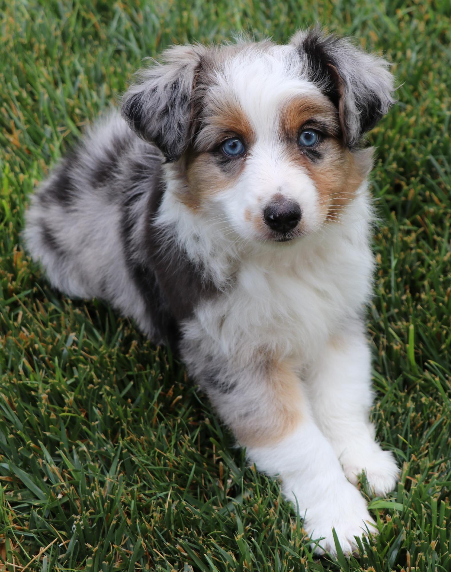 Toy Australian Shepherd puppies for sale in CO, Toy Aussie puppies