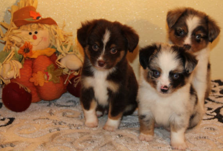 Miniature Dachshund Toy Australian Shepherd And English Bulldog