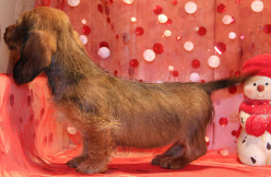 Wirehair Dachshund puppies in CO