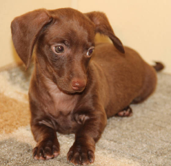 Chocolate Smooth Miniature Dachshund puppies in CO