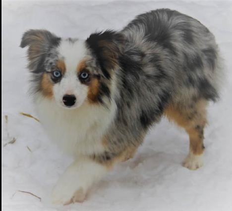 Miniature Dachshund Toy Australian Shepherd And English Bulldog Puppies For Sale