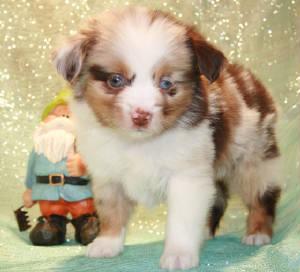 Miniature Dachshund, Toy Australian Shepherd and English